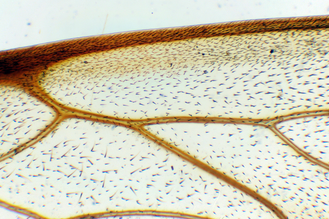 Bee wings under microscope 40x gallery diagram writing sample levenhuk rainbow 2l ng microscope simulator plant and animal garlic peel bee wing sciox gallery sciox Image collections